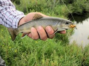 Montana spring creek dry fly brookie