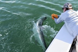 Capt. Rick leaders a tarpon caught and released by Denis Clohisy, from WI, in the coastal gulf in Sarasota.