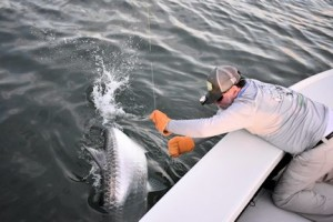 Capt. Rick leaders a tarpon caught and released by Jim Dempsey, from IL, in the coastal gulf in Sarasota.
