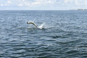 Denis Clohisy, from WI, jumps a tarpon on a live crab in the coastal gulf while fishing with Capt. Rick Grassett.